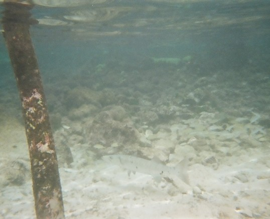A baby barracuda blending in in the shallows of our lagoon.
