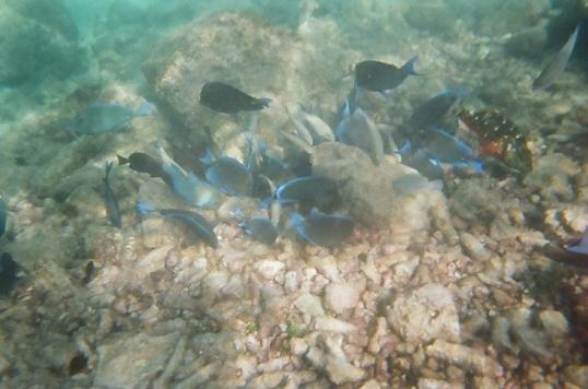 tangs at the reef