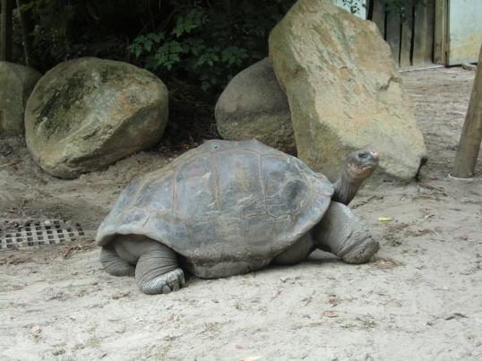 Galápagos tortoise striking a pose..
